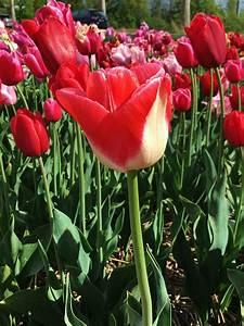 Tulpen Im Garten : das gr ne archiv tulpen im garten tipps und infos ~ A.2002-acura-tl-radio.info Haus und Dekorationen