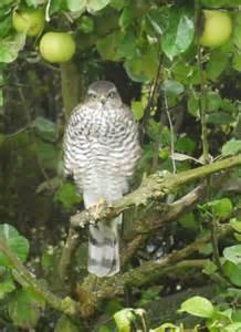 British Birds of Prey Identification