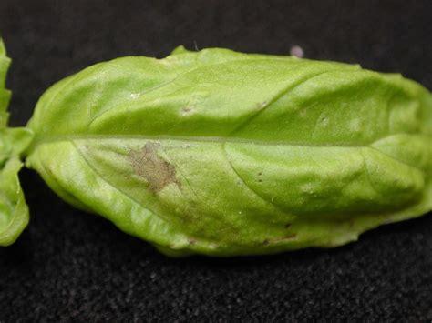basil plant pests nettles citrus herbs restaurants boston chowhound