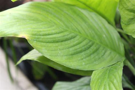 was bedeuten gelbe doris liebt pflanzen was bedeuten gelbe bl 228 tter beim einblatt ratgeber idowa