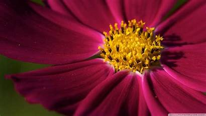 Cosmos Flower Purple Wallpapers Floral