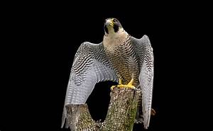 Falcon Animal Totem Meaning and Falcon Symbolism on Whats ...  Falcon