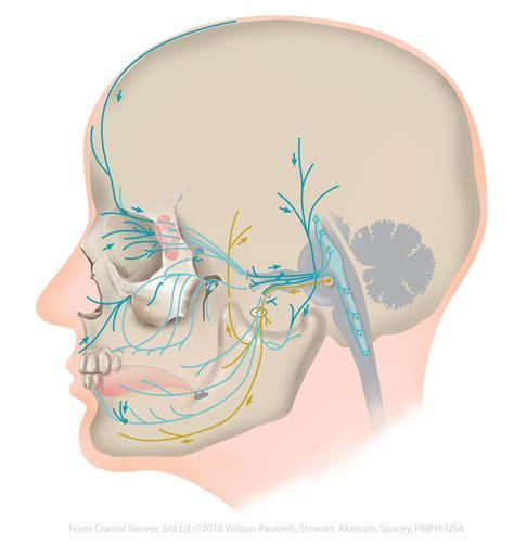 trigeminal v cranial nerves