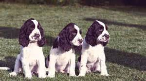 how much do english springer spaniels shed petcarerx