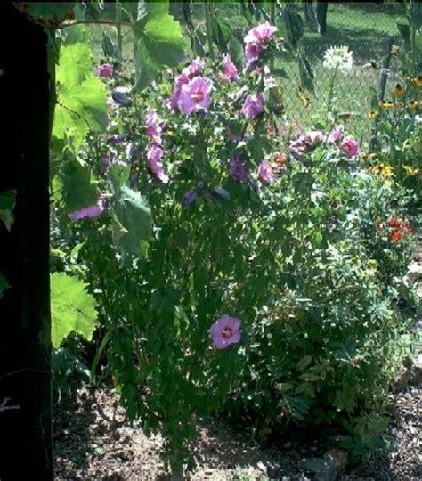blühende hecke das ganze jahr garten anders hibiskus empfehlenswert und kann das ganze jahr 252 ber pflanzen hibiscus