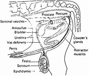 4 The Reproductive Tract Of The Bull  Lateral View