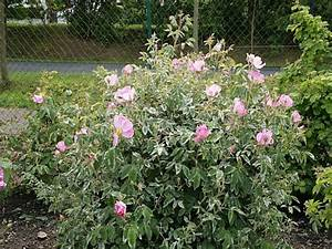 Rosenrost Was Tun : mehltau bei rosen mehltau an rosen gartentr ume ist das ~ Lizthompson.info Haus und Dekorationen