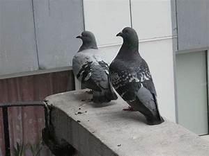 Faire Fuir Les Pigeons : faire fuir les pigeons pest solution services ~ Melissatoandfro.com Idées de Décoration