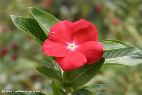 the picture of flower vinca flower picture flower pictures 3866