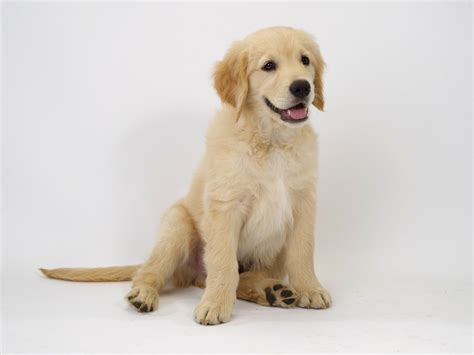 cute golden retriever puppies pictures blog  cute