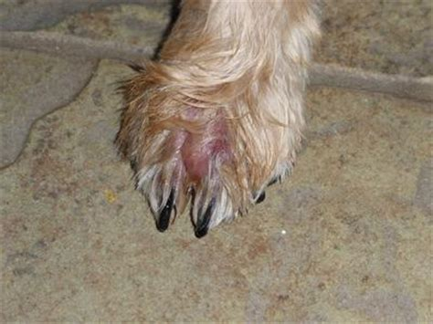 dog treatment  prevention  suspected interdigital