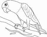 Kolorowanki Papugi Ptaki Papuga sketch template