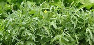 Wächst Rucola Nach : frag bruni rucola auch im sommer ernten food farm ~ Watch28wear.com Haus und Dekorationen