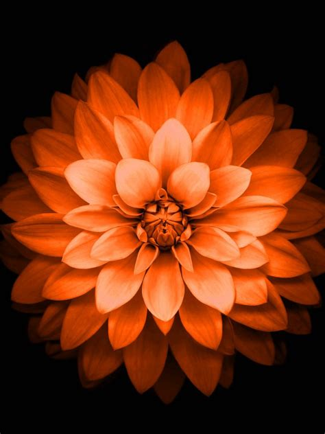 Black And Orange Flower Wallpaper by 768x1024 Iphone 6 Plus Orange Lotus Flower Retina