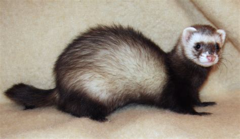 are ferrets pets musings of a biologist and dog lover a ferret of a different color