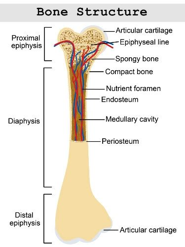 Structure of long bones dra. Structure and Function of the Haversian System Explained With Diagrams - Bodytomy