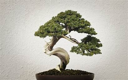 Bonsai Tree Desktop Pixelstalk
