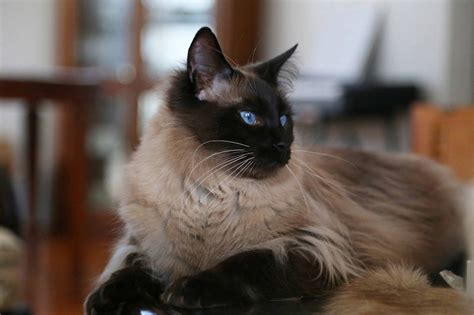 Balinese Cat Price Range Balinese Kittens For Sale Cost