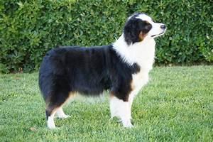 Pics For > Black Mini Aussie Puppies