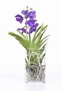 Orchideen Im Glas : vanda orchidee im glas vanda orchideen orchideen im ~ A.2002-acura-tl-radio.info Haus und Dekorationen