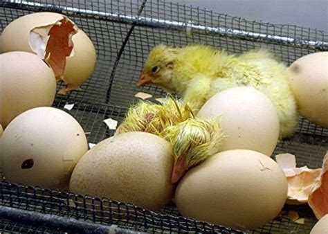 Laying Chickens, Hatching Eggs, Sexing And Raising