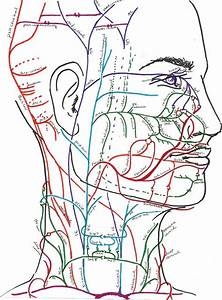 Labeled Illustration Head And Neck Diagram
