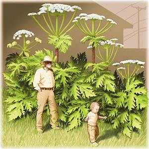 Spread of toxic invasive plant alarms U.S. forest ...