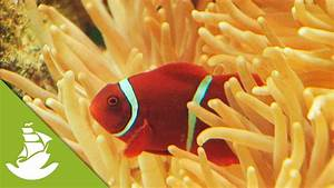 Clownfish And Anemones Youtube