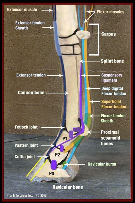 horse limb equine lower anatomy front horses tendon side flexor vet lameness injury guide navicular check bowed structures foot horsesidevetguide