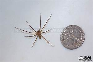 brown recluse size comparison image search results