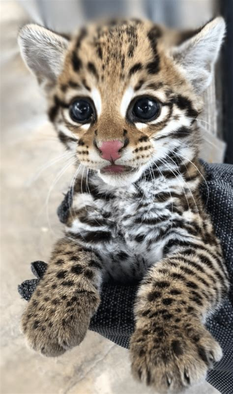 Gorgeous Endangered Ocelot Kittens Are So Cute They Look