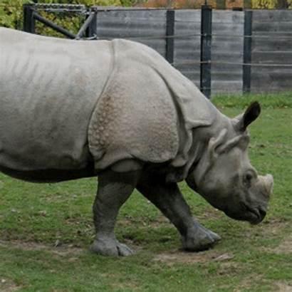Rinoceronte Java Animal Entao Bora Comecar