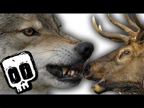 grey wolf  elk deadliest showdown ep  earth