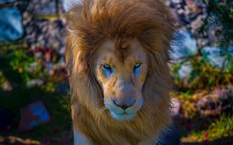 Cool Lion Wallpapers (64+ Images
