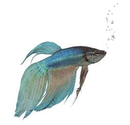 Betta Fish Drawing