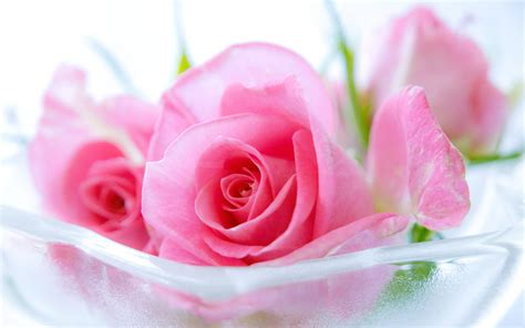 Pink Roses Background Pink Wallpapers Wallpaper Cave