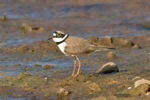 build your own ring file ringed plover jpg wikimedia commons
