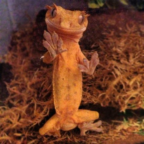crested gecko shedding a lot crested gecko terrarium size cohabitation notes reptifiles
