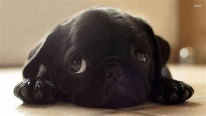 Pug Puppy Puppies Dog Pugs Dogs Wallpapers
