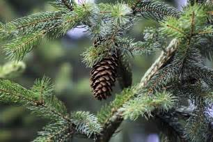 pine cone on tree www myfreetextures 1500 free textures stock photos background images