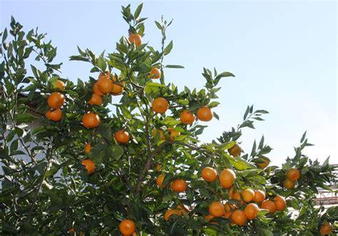 pianta fiori arancio arancio frutteto coltivare piante di arancio