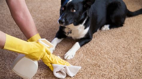 How To Clean Urine Smell From Carpet by How To Get The Smell Of Pet Urine Out Of Carpet Angies List