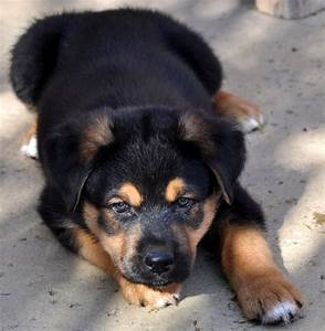 Rottweiler German Shepherd Lab Mix Photo - Happy Dog Heaven
