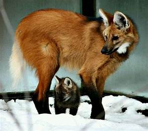 Meet The Maned Wolf! If He Sounded Like This Outside Of My ...
