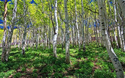 forest nature birch grove desktop wallpaper hd