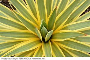 Yucca gloriosa 'Bright Star'