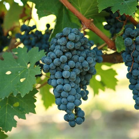 what are grape vines grape vines for sale double a vineyards