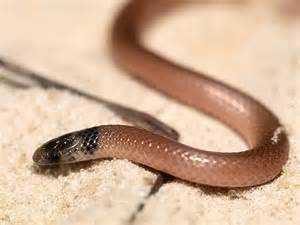 Florida Snake Burrowing