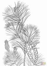 Pine Coloring Cone Pages Tree Tassel Printable Drawing Template Trees Drawings Templates Sketch sketch template
