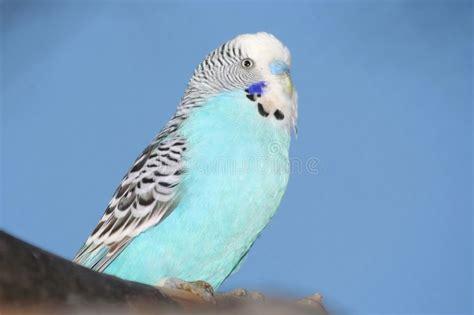 Blue Budgie Bird Portrait Royalty Free Stock Photo Image